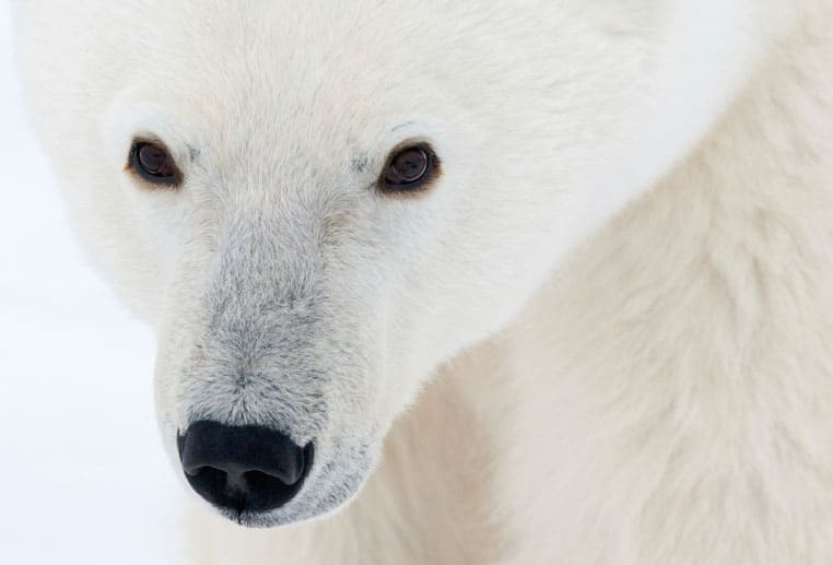 A Polar Bear image closeup